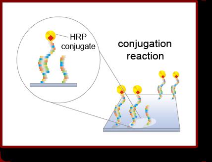 Step2_ConjugationReaction_en.png